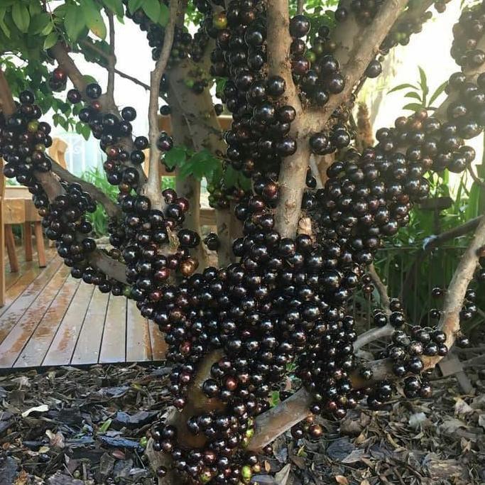 anggur brazil