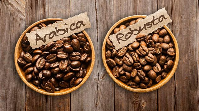beda kopi arabika dan kopi robusta