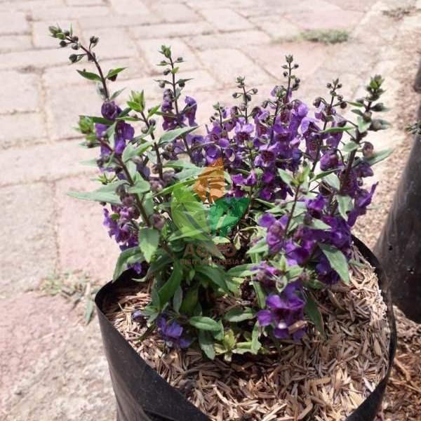 bibit bunga lavender