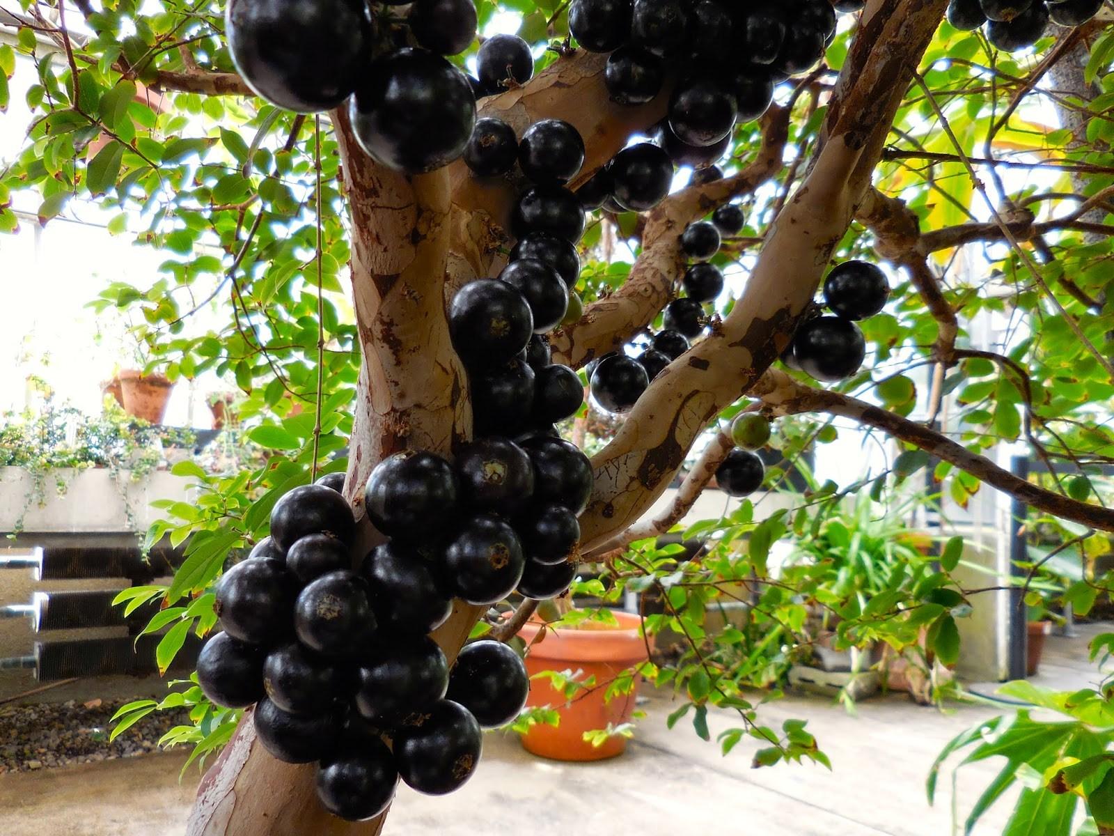 budidaya anggur brazil