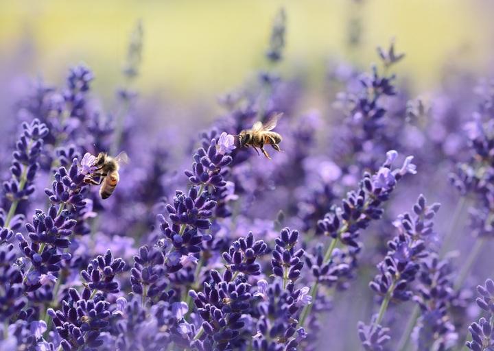 budidaya bunga lavender