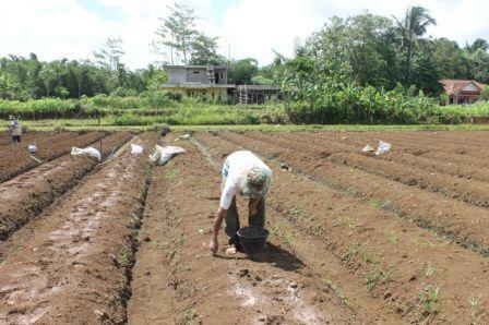 lahan tanam kacang tanah organik