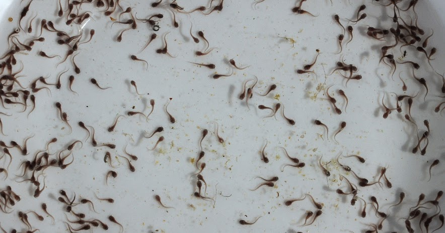 larva ikan lele