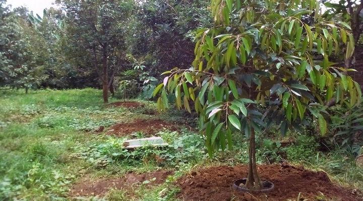menanam durian montong