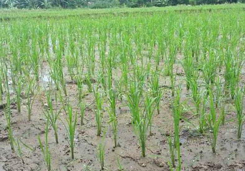 penyemaian padi organik