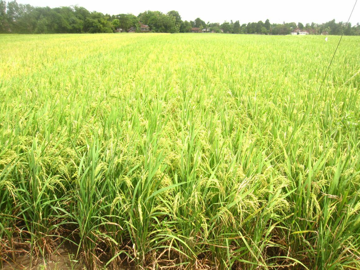 perawatan padi organik