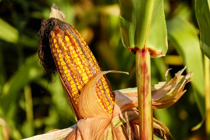 tanam jagung