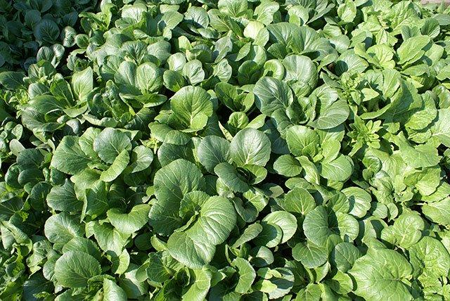 tanaman organik
