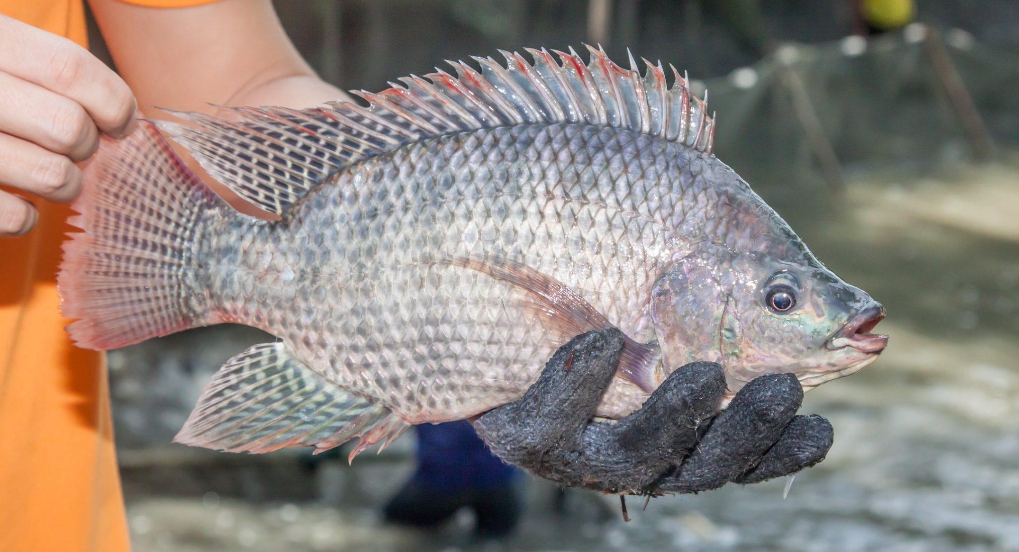 Ikan-Mujair