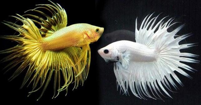 5 Langkah Ternak Ikan Cupang Di Kolam Beton Pak Tani Digital