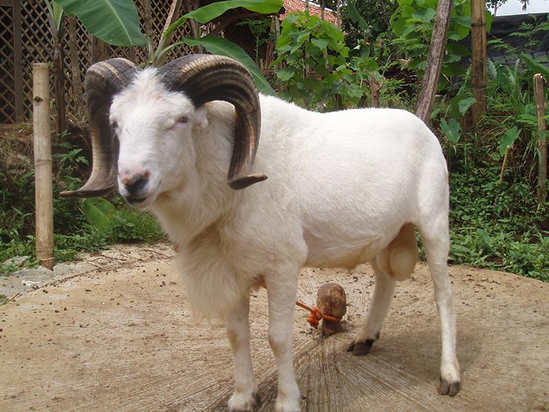 peluang bisnis domba garut