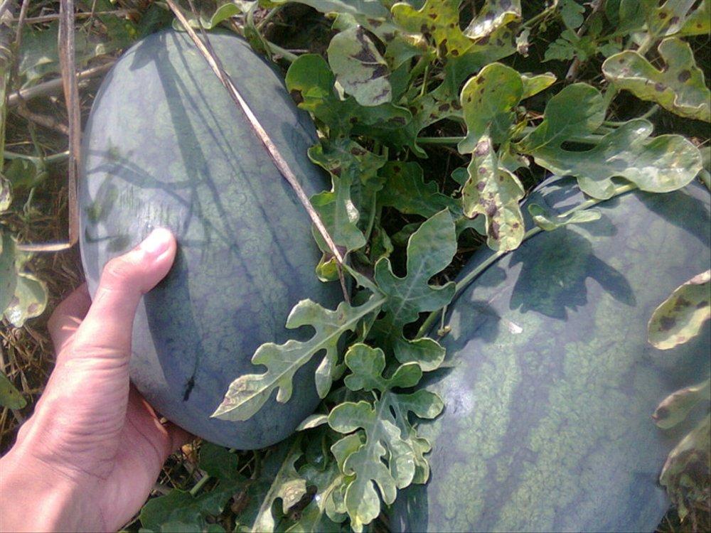 bibit semangka inul