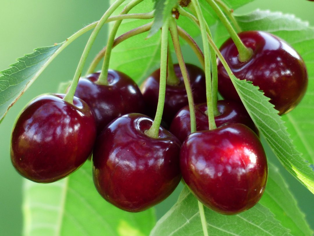 budidaya cherry