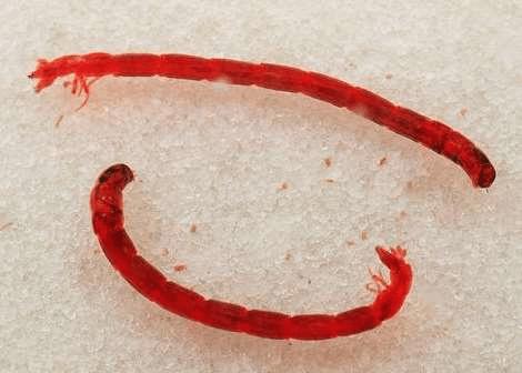 cacing darah