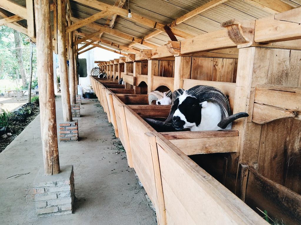 kandang domba garut