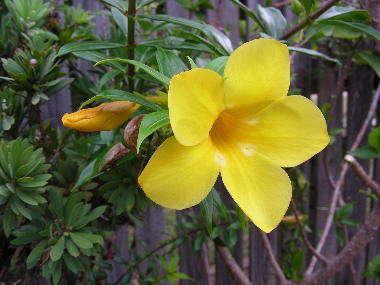 menanam bunga alamanda