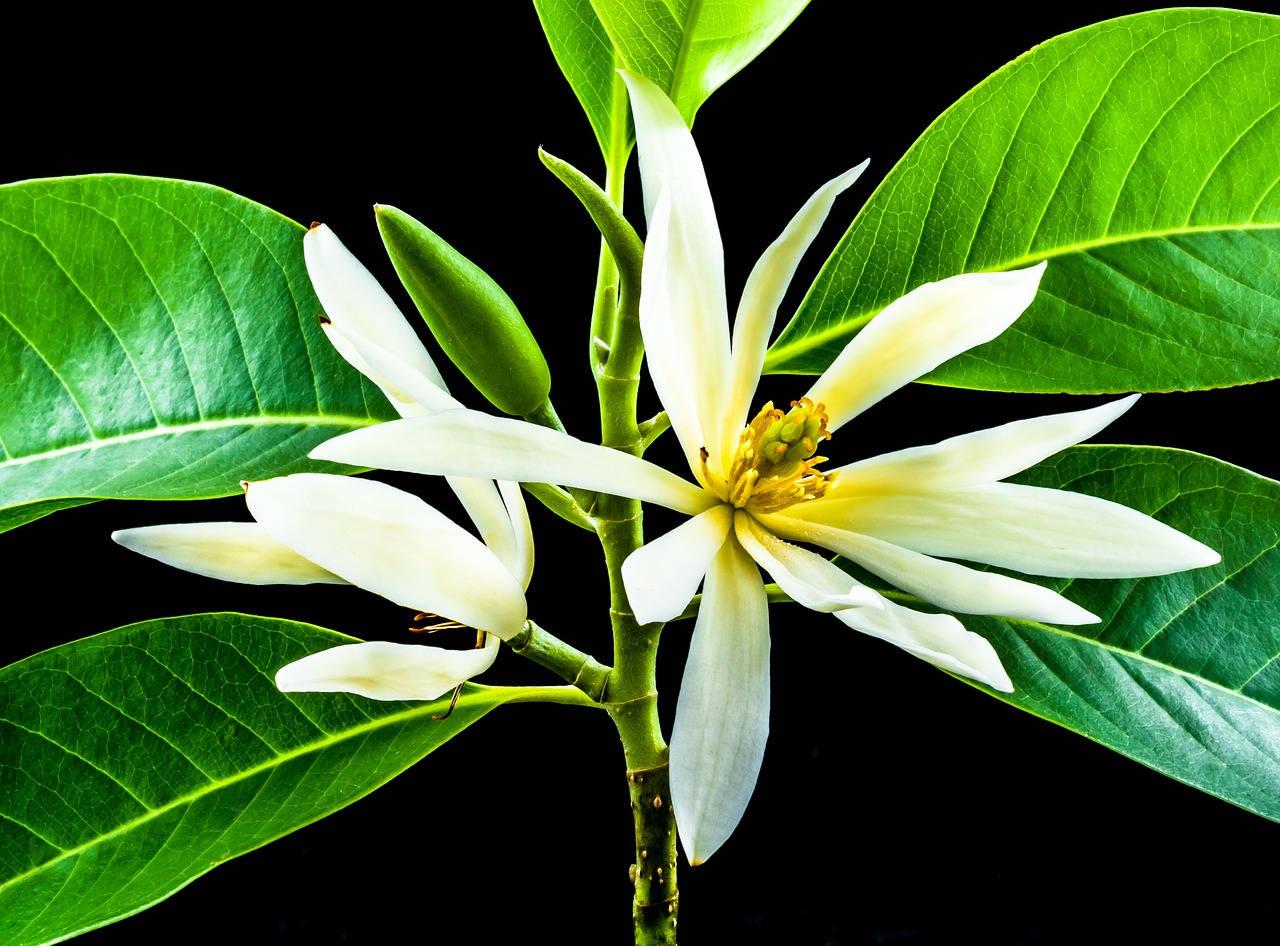 Mengenal Bunga Kantil Dan Cara Penanamannya Pak Tani Digital