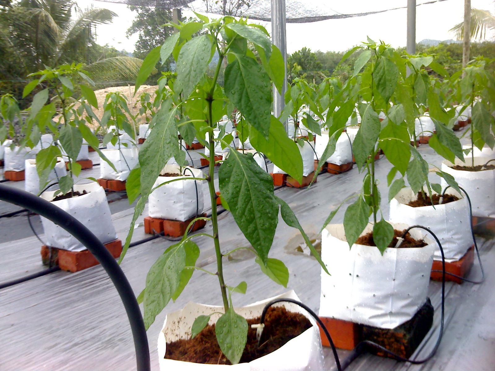 menanam sayur dengan metode fertigasi