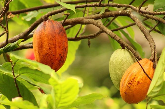 pohon kakao