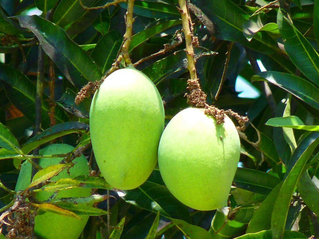 pupuk buah mangga