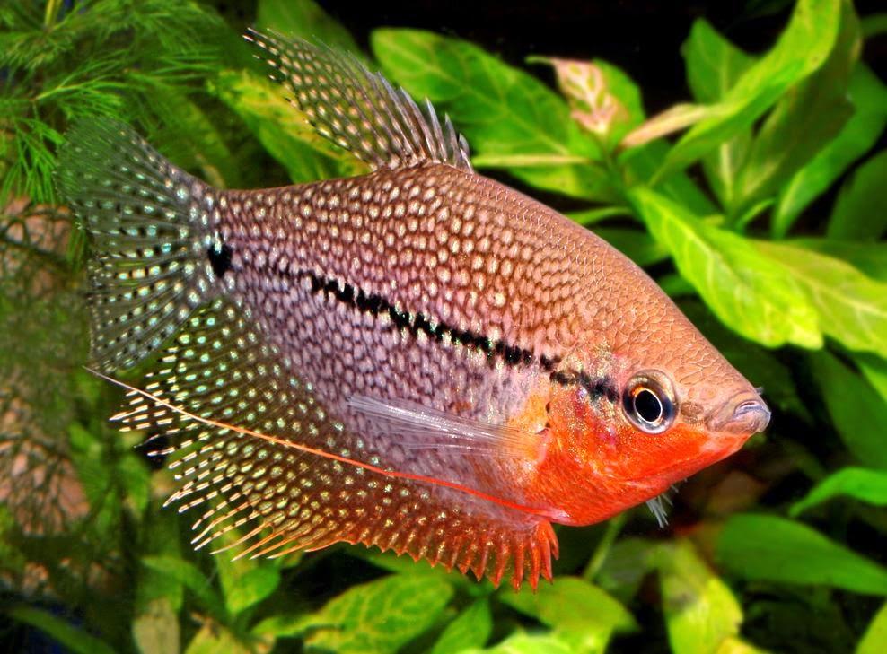 5 Tahap Budidaya Ikan Sepat Siam Dengan Praktis Pak Tani Digital