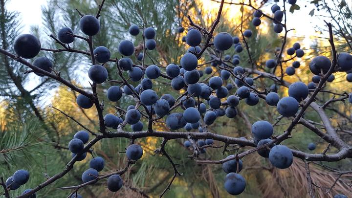 manfaat blueberry
