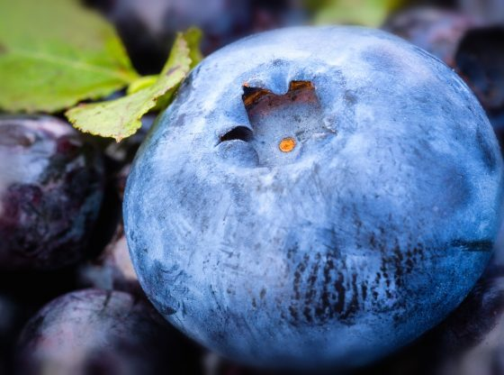 Panduan Budidaya Blueberry