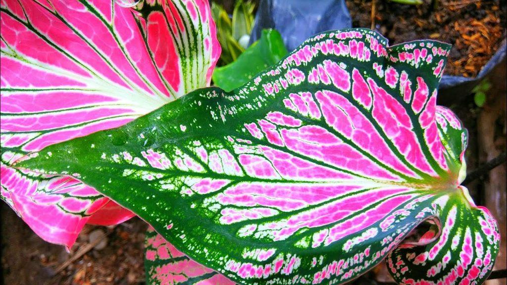 bunga keladi