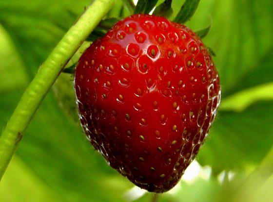 Merangsang Stroberi Berbuah Lebat