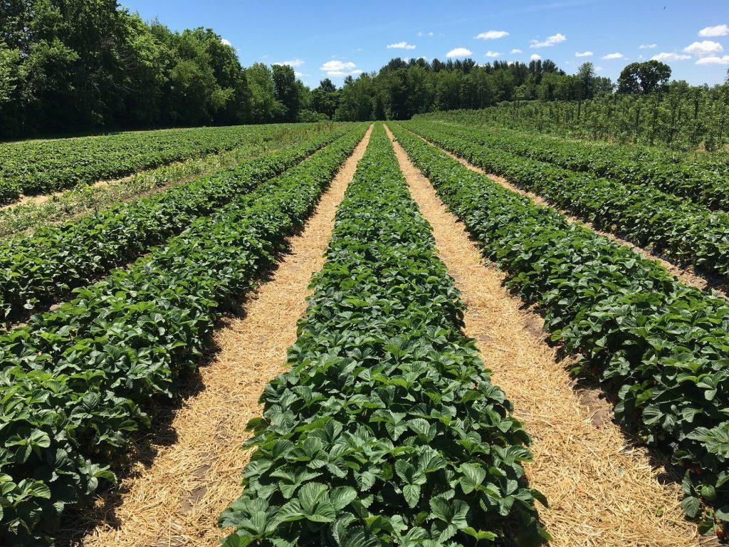 Ikuti Langkah Ini Untuk Merangsang Stroberi Berbuah Lebat