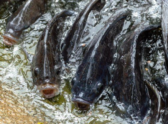 Ikan Nila Nile Fish