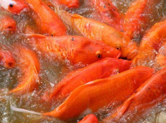 ikan mas bergerombol