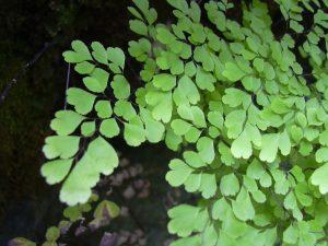 tanaman suplir