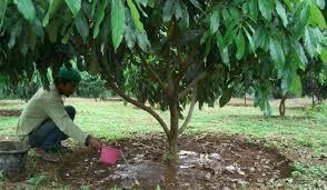 Pembudidayaan Pohon Lengkeng