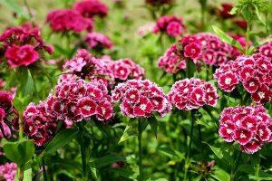bunga anyelir