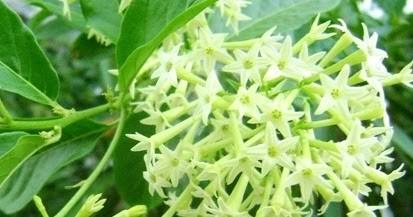 bunga arum dalu