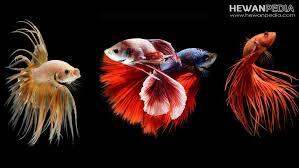 memelihara ikan cupang