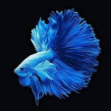 Yuk Pelajari Cara Merawat Ikan Cupang Yang Baik Dan Benar Pak Tani Digital