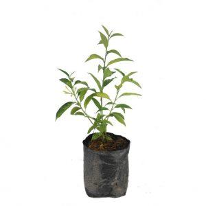 tanaman di dalam polibag